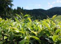 Amit csak kevesen tudnak a zöld teáról